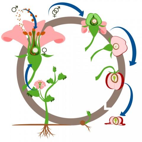 Schéma cycle des angiospermes